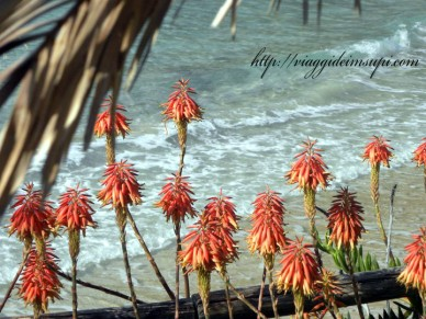 Isole Tremiti, fiori